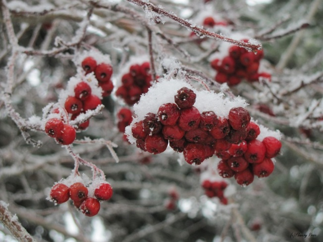 Wordless Wednesday:  Mountain Ash.