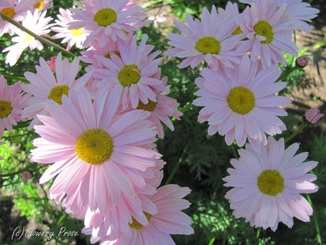 Robinson Rose painted daisy FP