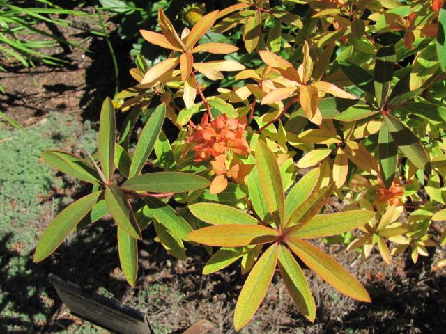 Fireglow spurge Euphorbia griffithii Fireglow