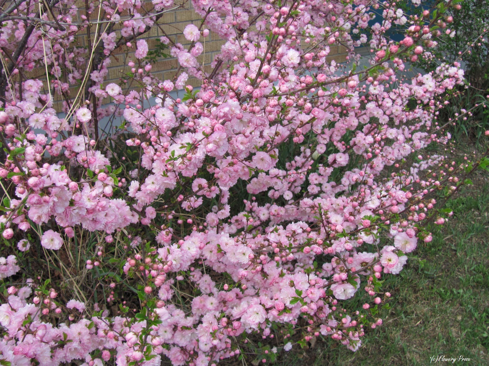 Double Flowering Plums Our Northern Cherry Blossoms Flowery