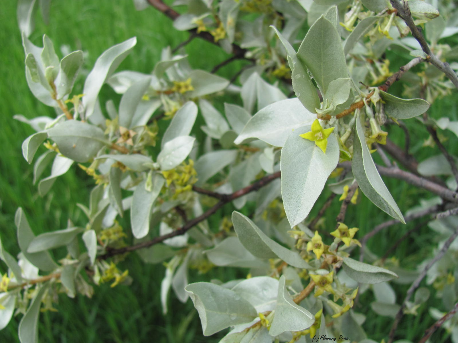 Wolf Willow