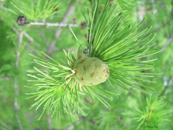 Immature larch cone - 7 June 2013