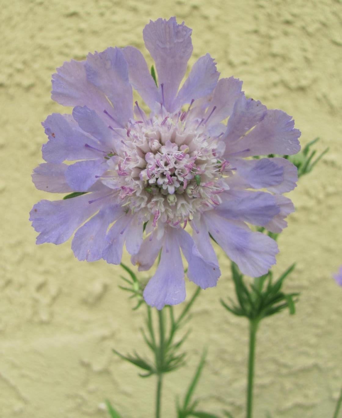 Wordless Wednesday Pincushion Flower Scabiosa Caucasica Perfecta