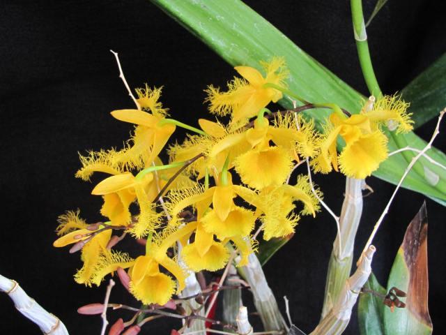 Dendrobium harveyanum2
