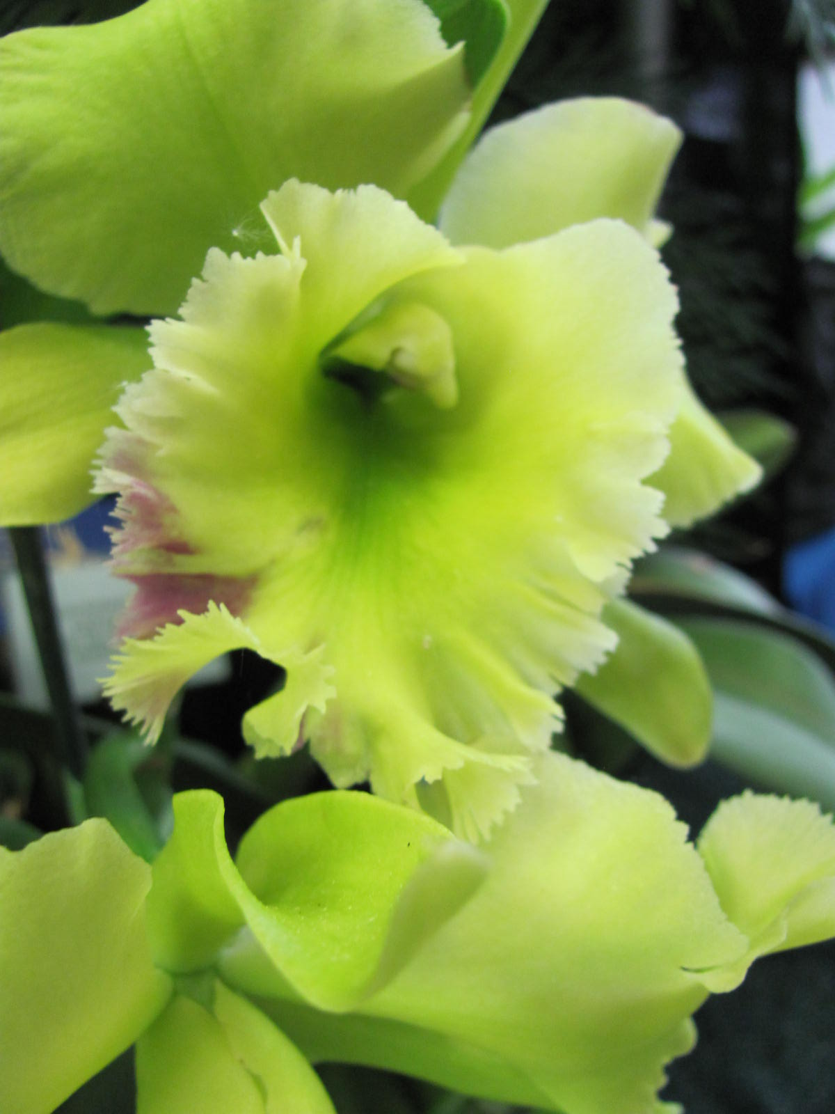 Rhyncholaeliocattleya 'Green Devil'