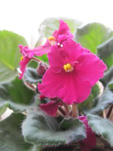 African violet - 11 March 2014