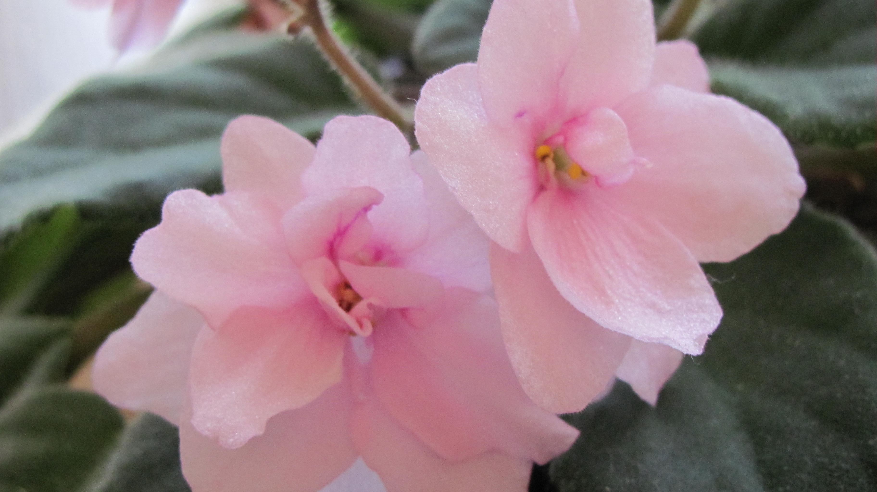African Violets Flowery Prose
