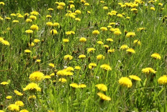 Interesting facts about dandelions flowery prose dandelions dandelions everywhere the city has reduced its herbicide use over the past few years which is a very good thing dandelions are after all mightylinksfo