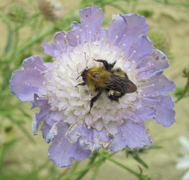 Bee Scabiosa