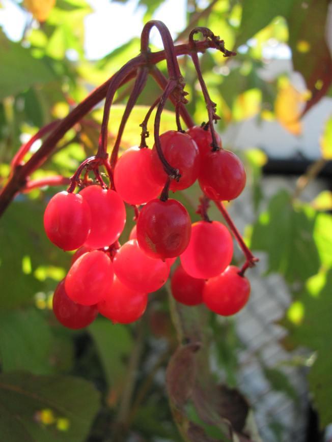 Highbush cranberry2