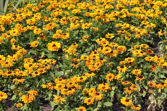 Rudbeckia blog