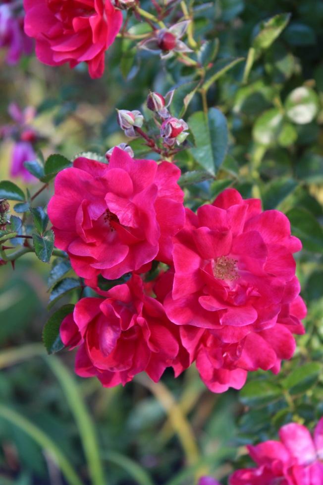 Roses standard resize