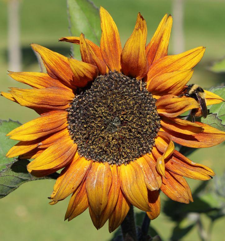 Sunflower crop FPNormandeau