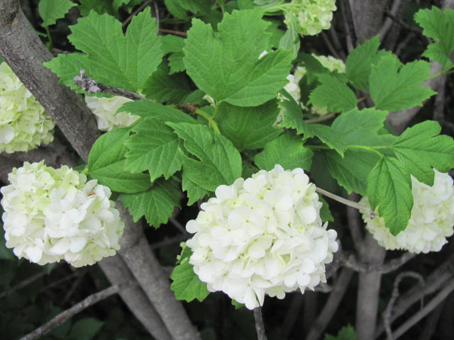 Viburnum snowball - 16 June 2012