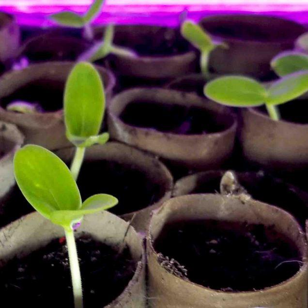 Cucumber seedlingsi n TP roll pots- MArch 28 2020