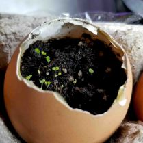 Herbs growing in eggshells- March 28 2020