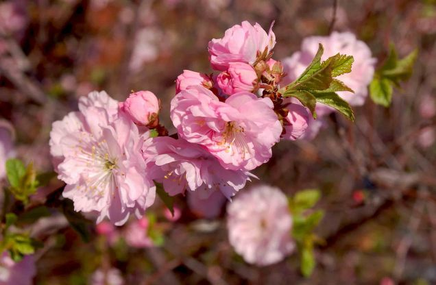 Double Flowering Plum - Photo by Janet Melrose