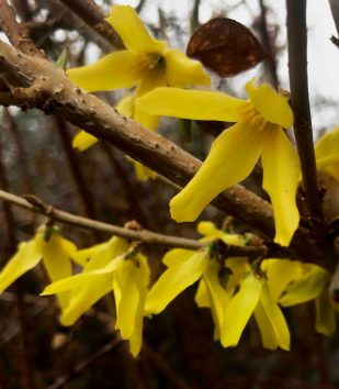 Forsythia - Photo by Janet Melrose